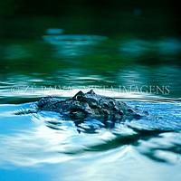 "Jacare-de-papo-amarelo ""caiman latirostris"", Santa Catarina; Brasil. foto de Ze Paiva/Vista Imagens"