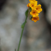 Fiddleneck