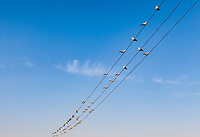 Doves sit on utility lines with a blue sky behind. jaisalmer, Rajasthan, India.