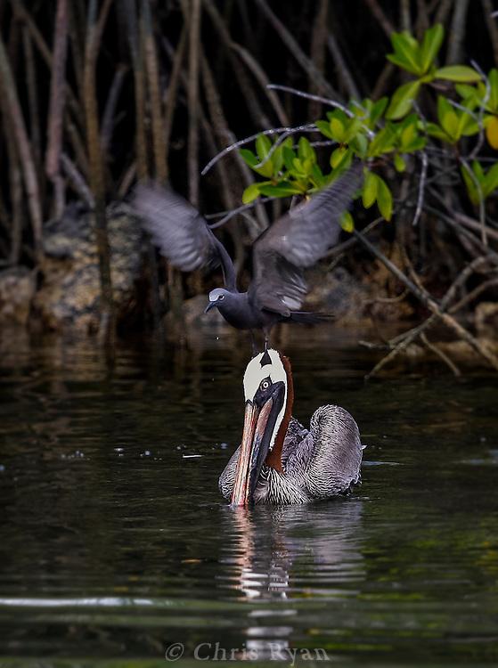 Brown noddy balancing atop a brown pelican, Galapagos