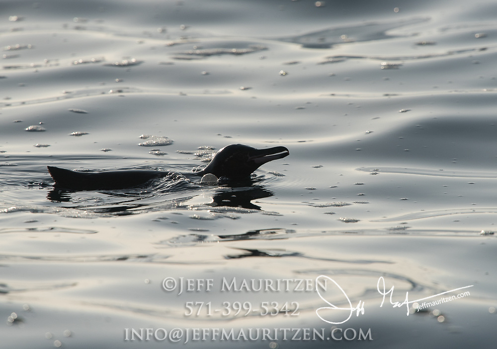 A Galapagos penguin swims in the Pacific ocean surrounding Isabella island in the Galapagos archipelago of Ecuador.