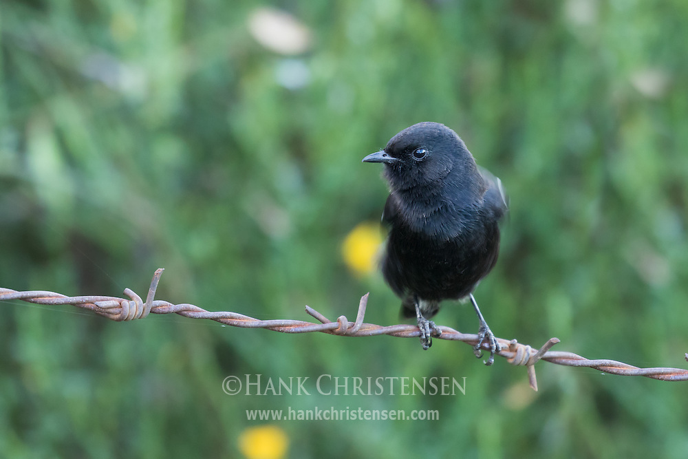 A pied bush chat perches on a strand of barbed wire, Ooty, Tamil Nadu, India.
