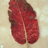 Back of single red leaf turning brown of Broad-leaved dock or Rumex obtusifolius lying on antique paper