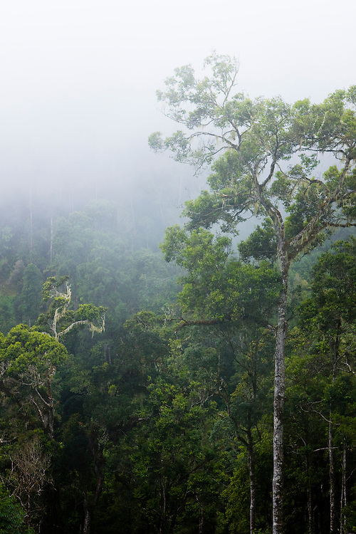 Fog conceals much of the  rainforest on the slopes of the Arfak mountains between Mokwam and Manokwari, Papua, Indonesia, Sept. 11, 2008..Daniel Beltra/Greenpeace