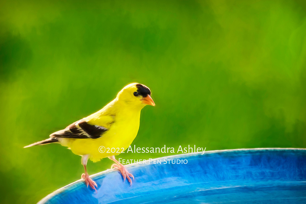 "American goldfinch male in bright yellow breeding plumage, perched on blue birdbath in natural backyard setting.  Blend of painted effects and photorealism.  The goldfinch, nicknamed the potato chip bird, has a four-syllable call that can be likened to ""po-ta-to-chip."""