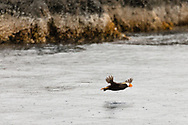 Tufted Puffin (Fratecula cirrhata) flying in Wells Passage in Southcentral Alaska. Summer. Afternoon.