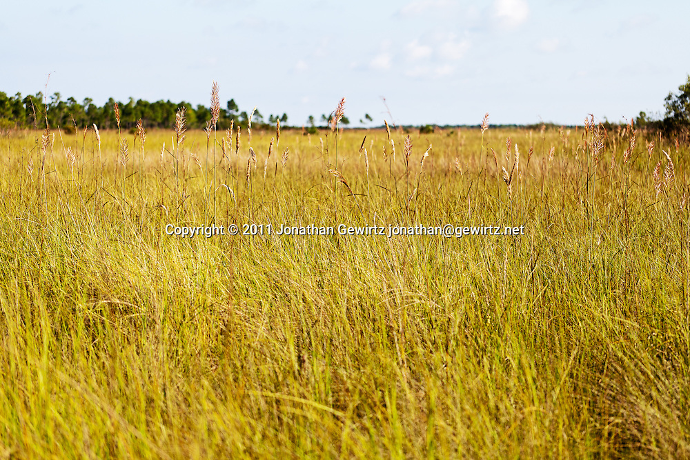 "Sawgrass savanna in the Florida Everglades ""River of Grass"". WATERMARKS WILL NOT APPEAR ON PRINTS OR LICENSED IMAGES."