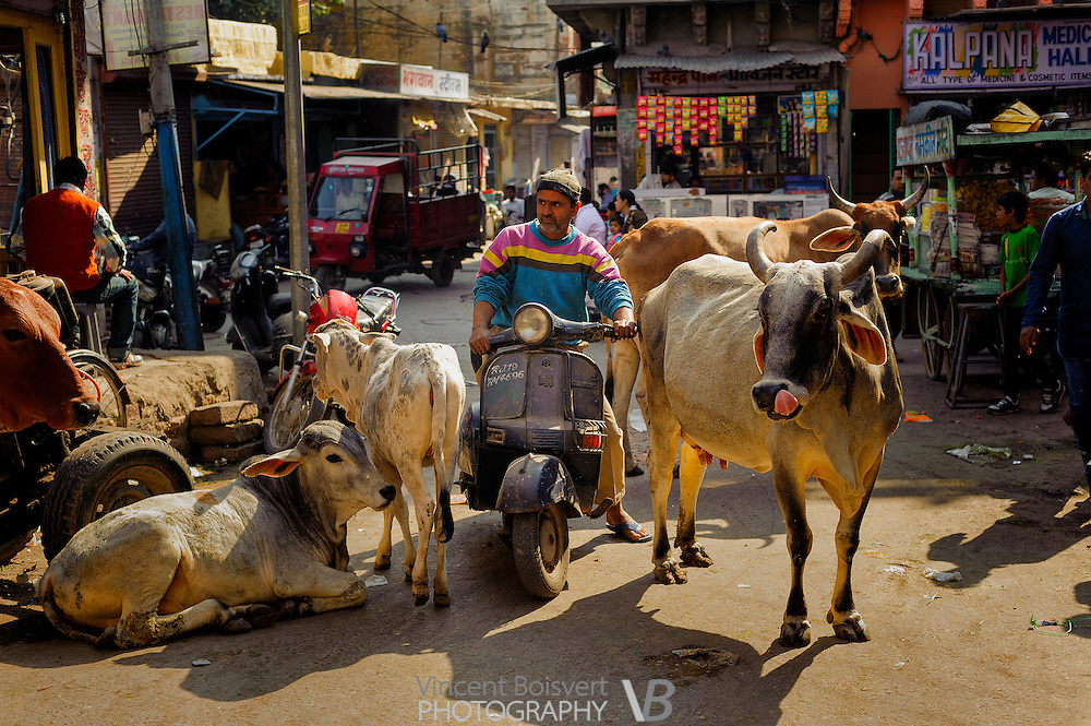 a man trying to contour holy cow with his motorbike, Jodhpur, india