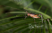 A cricket crawls on a leaf in the Mindo-Nambillo cloud forest.