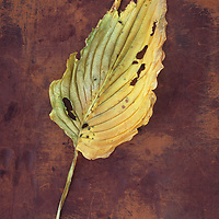 Large dried yellow leaf and stalk of Hosta fortunei Albopicta plant with insect bites lying on scuffed leather