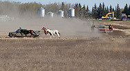 Photo Randy Vanderveen.Grande Prairie , Alberta.26/04/10 .Horses at Kelly Sutherland's land east of the city get some exercise to build up their legs and wind as they are ponied through a track on a field. Four trucks were ponying four horses each Monday morning. The first race of the season-- Grande Prairie Stompede--  is only a month away.