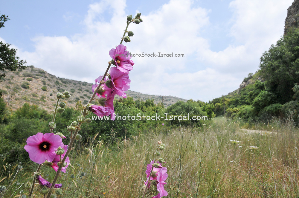 Bristly Hollyhock (Alcea setosa) pink spring flower, Photographed on the Carmel Mountain, Israel
