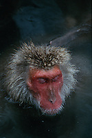 A Japanese macaque (Macaca fuscata) soaking in a hot spring.