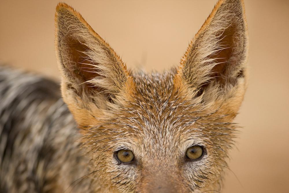 South Africa, Kgalagadi Transfrontier Park,  Black Backed Jackal (Canis mesomelas) in Kalahari Desert
