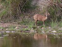 Hog Deer, Hyelaphus porcinus, Bardiya National Park, Nepal