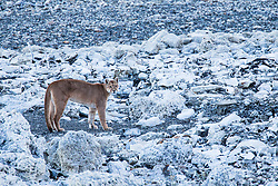 A female puma (Puma con color) also known as a mountain lion or cougar, walking on a stromolite rock along a clear blue lake, Torres del Paine, Chile, South America