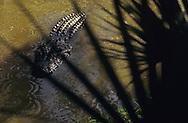 Vereinigte Staaten von Amerika, USA, Florida: wartender amerikanischer Mississippi-Alligator (Alligator mississippiensis) durch Palmblaetter betrachtet. | United States of America, USA, Florida: American Alligator, Alligator mississippiensis, in wait, view through palm leaves. |