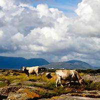 Galway, Ireland, cows, cow, sea, sun, cloud, rocks, shore, summer