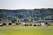 Nederland, Persingen, 25-5-2017Koeien in een weiland tegen de achtergrond van de stuwwal en het kerkje van Persingen. Persingen is een dorp in de gemeente Ubbergen, in de Nederlandse provincie Gelderland. Persingen ligt in de Ooijpolder. Met zijn 89 inwoners,34 woningen, wordt het dikwijls bestempeld als het kleinste dorp van Nederland. Het dorpje heeft een laat-middeleeuws gotisch kerkje, dat dienst doet als tentoonstellingsruimte en trouwlocatie en dat ook gebruikt wordt voor uitvaarten. In het verleden is Persingen groter geweest, maar het dorp was kwetsbaar voor overstromingen en in 1809 werd het vrijwel geheel verzwolgen door de Waal. Het resterende Persingen ligt op een donk, een rivierduin.Foto: Flip Franssen