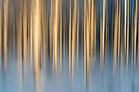 Birkenwald in Lappland