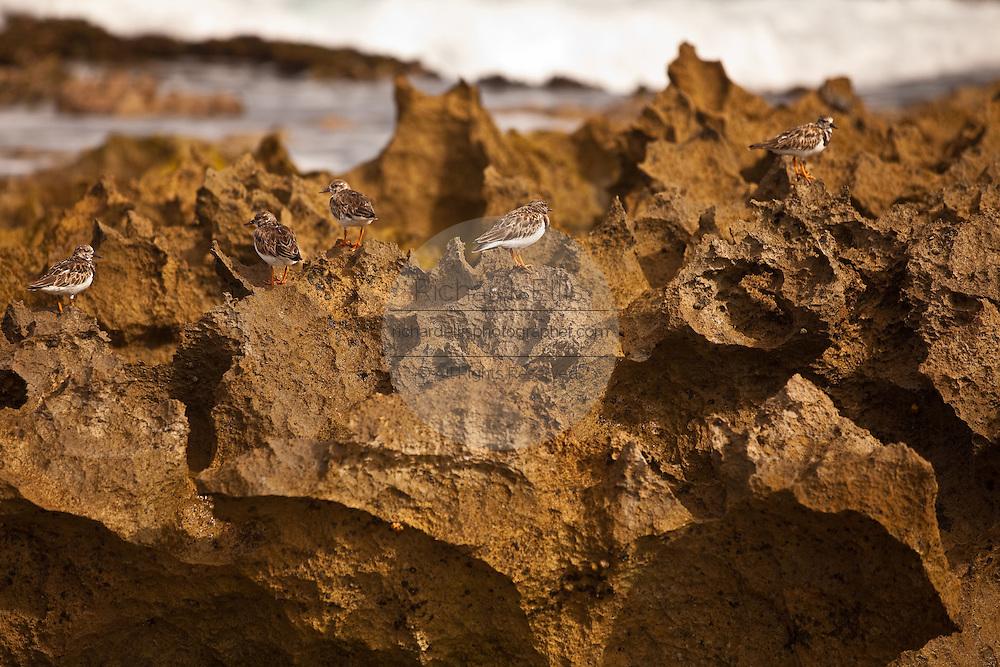 Ruddy Turnstones on rocks at Playa Jobos beach in Isabela Puerto Rico