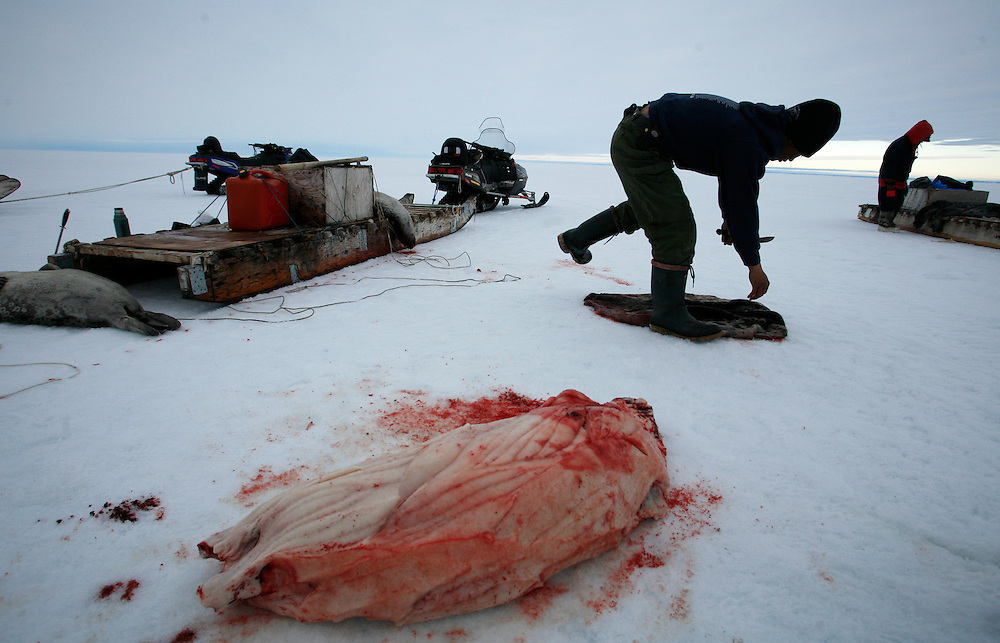 Mark Ammarualik skins and cuts a seal in Resolute Bay, Canada on Tuesday, June 12, 2007. The Inuit hunt seals for food, and their community uses every part of the seals, either eating the meat or using the hides to make warm clothes. The traditional way of life in the Resolute Bay Inuit community is being threatened by rising temperatures. The dangers of global warming, which have been extensively documented by scientists, are appearing first, with rapid, drastic effects, in the Arctic regions where Inuit people make their home. Inuit communities, such as those living on Resolute Bay, have witnessed a wide variety of changes in their environment. The ice is melting sooner, depleting the seal population and leaving them unable to hunt the animals for as long. Other changes include seeing species of birds and insects (such as cockroaches and mosquitoes) which they have never encountered before. The Inuit actually lack words in their local languages to describe the creatures they have begun to see.