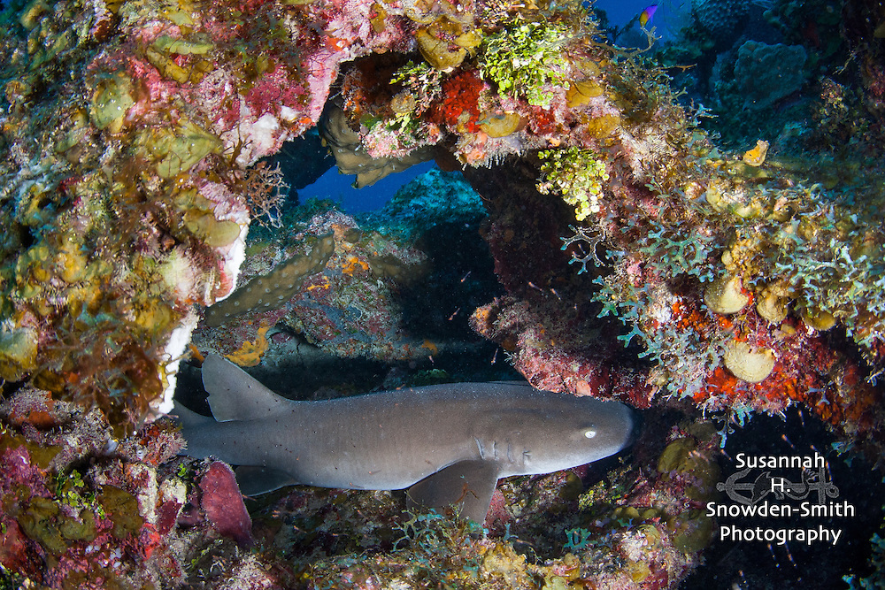 Nurse Shark - A nurse shark found a beautiful coral arch to hide in.  East Side, Grand Cayman.