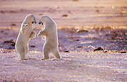 Image of two polar bears (Ursus maritimus) playing in a snow field near Churchill in Manitoba, Canada