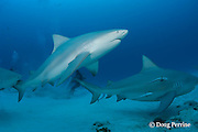 bull sharks, Carcharhinus leucas, females in seasonal breeding aggregation with remoras or sharksuckers, Echeneis naucrates, Playa del Carmen, Cancun, Quintana Roo, Yucatan Peninsula, Mexico ( Caribbean Sea )