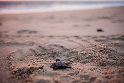 The newborn turtle is ready to go. It's walking to the sea.