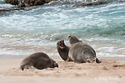 Hawaiian monk seals, Monachus schauinslandi, dominant male (center) moves to drive subordinate male (closest to water) away from female (left); Critically Endangered endemic species, west end of Molokai, Hawaii ( Central Pacific Ocean )