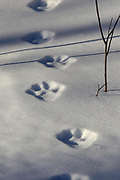 Lynx tracks in snow, Superior National Forest, Minnesota.