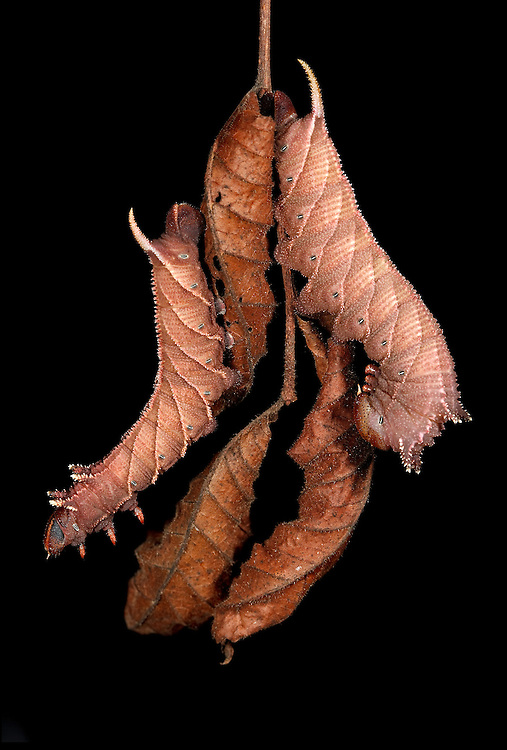 Two final instar four-horned or elm sphinx hanging from branch of dead elm leaves.  These caterpillars can occur in both a green and brown form.