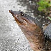 Florida Softshell Turtle, Trionyx ferox, closeup of head. Shark River Slough, Everglades National Park, Florida, USA
