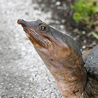 Florida Softshell Turtle, Trionyx ferox, closeup of head. Shark River Slough, Everglades National Park, Florida, USA