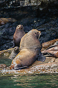 Stellar Sea Lion Bull and cows on rocks