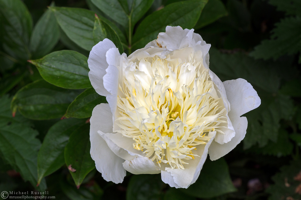Peony ( Paeonia lactiflora) 'Leto' blossom