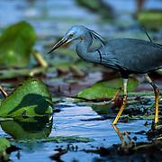 Slaty Egret (Egretta vinaceigula) - Mombo - Okavango Delta - Botswana