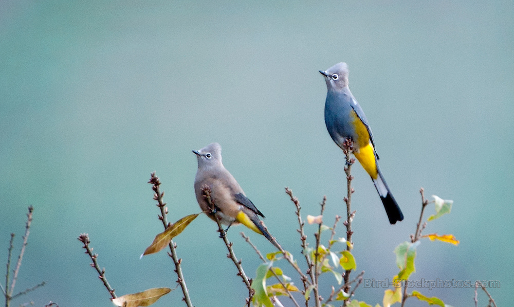 Grey Silky-flycatcher, Grey Silky Flycatcher, Ptilogonys cinereus, Guatemala, by Owen Deutsch