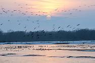 Platte River, Nebraska<br /> <br /> Migrating Sandhill cranes return to the river roost at sunset.