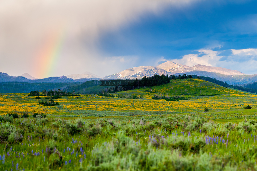 Sea of flowers in Yellowstone National Park.  Limited Edition - 75