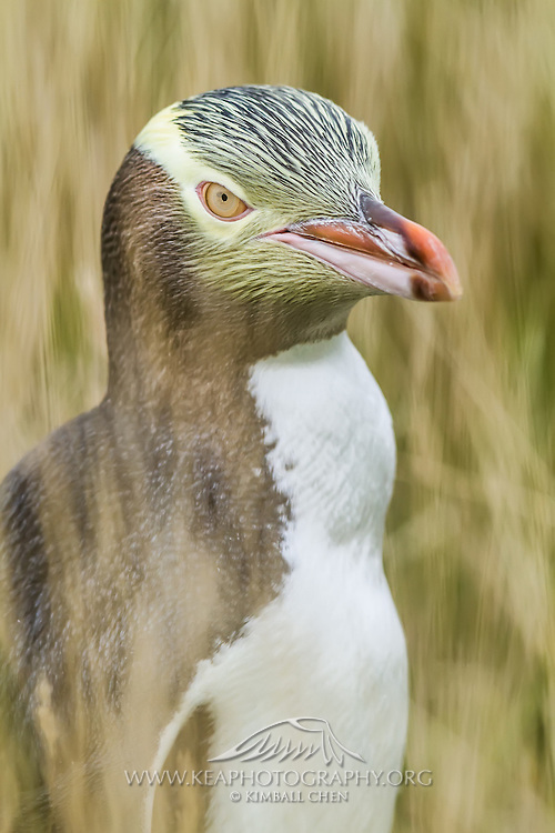 A streaky comb-over and yellow goggles...a timeless portrait of an endangered Yellow-eyed Penguin, hiding amongst the tall grass, Moeraki, New Zealand
