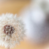 Dandelion flower with jar in background out of focus.