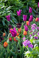 Tulips 'Purple Dream', 'Black Parrot'  and 'Princes irene'. Check id