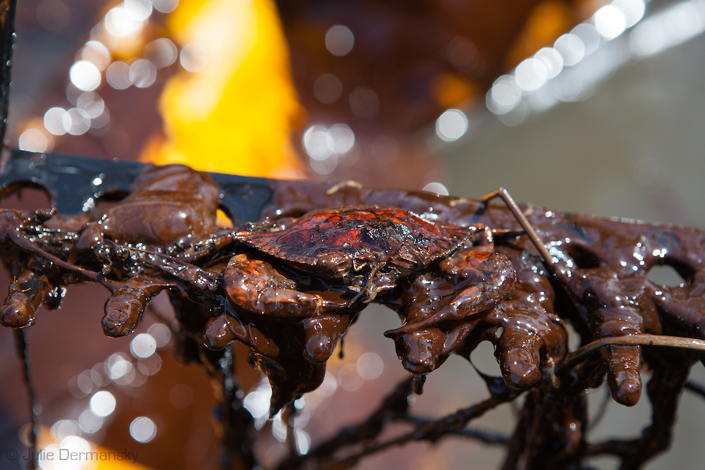 Crab stuck in oil on the surface of Barataria Bay