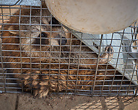 Raccoon in a Havahart trap. Image taken with a Leica CL camera and 60 mm f/2.8 lens (ISO 100, 60 mm, f/4.5, 1/200 sec).