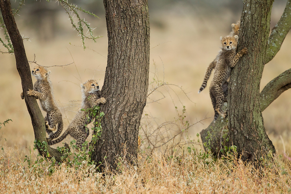 Tanzania, Ngorongoro Conservation Area, Ndutu Plains, Cheetah Cubs (Acinonyx jubatas) climbing acacia tree while playing in savanna
