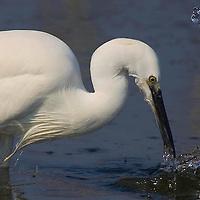 Alberto Carrera, White Heron, Little Egret, Egretta garzetta, Salinas de Santa Pola Natural Park, Región de Murcia, Spain, Europe