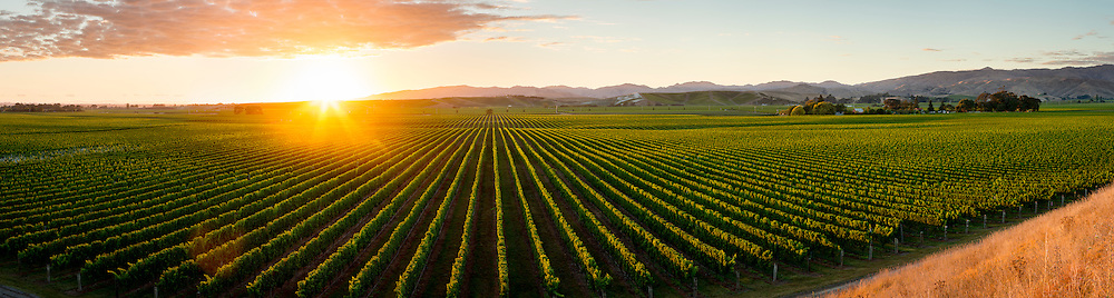 Sun appears over the horizon and casts a warm glow over an expanse of grape vines on Brancott Estate during late summer.