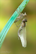 A Dragonfly emerges into an adult form